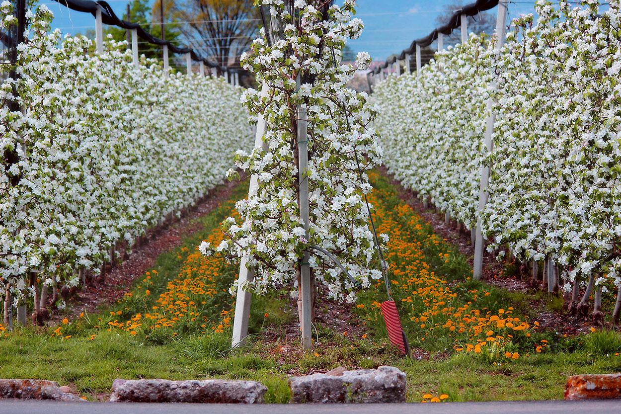 Apfelblüten in Lana, Südtirol