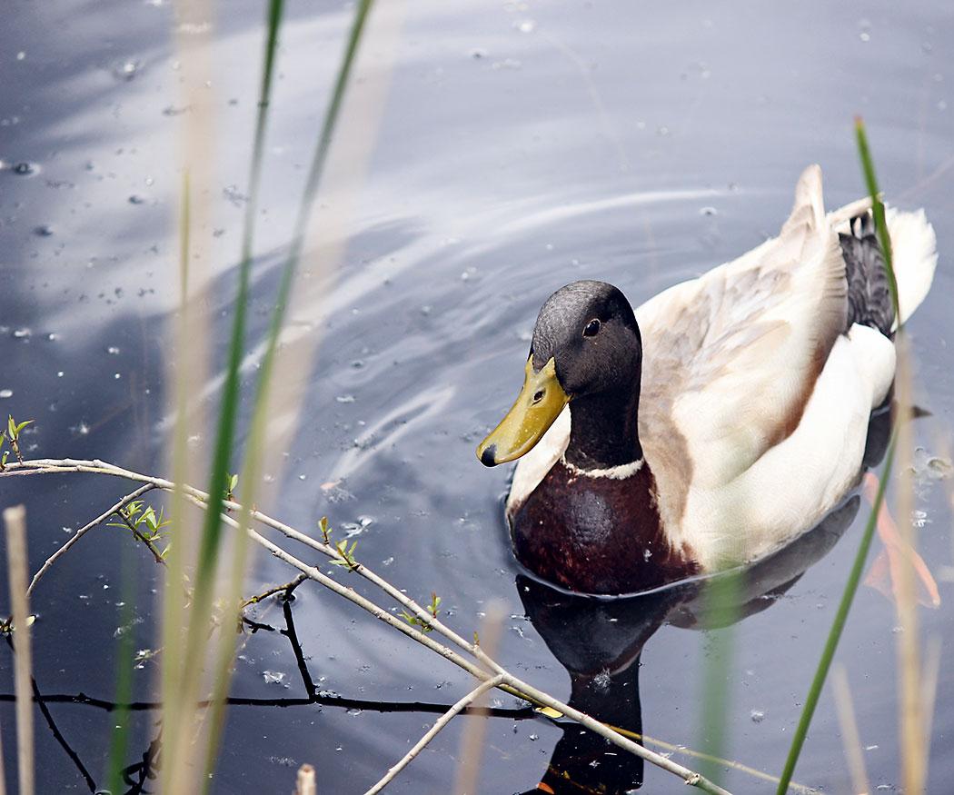 Schwimmende Ente im See