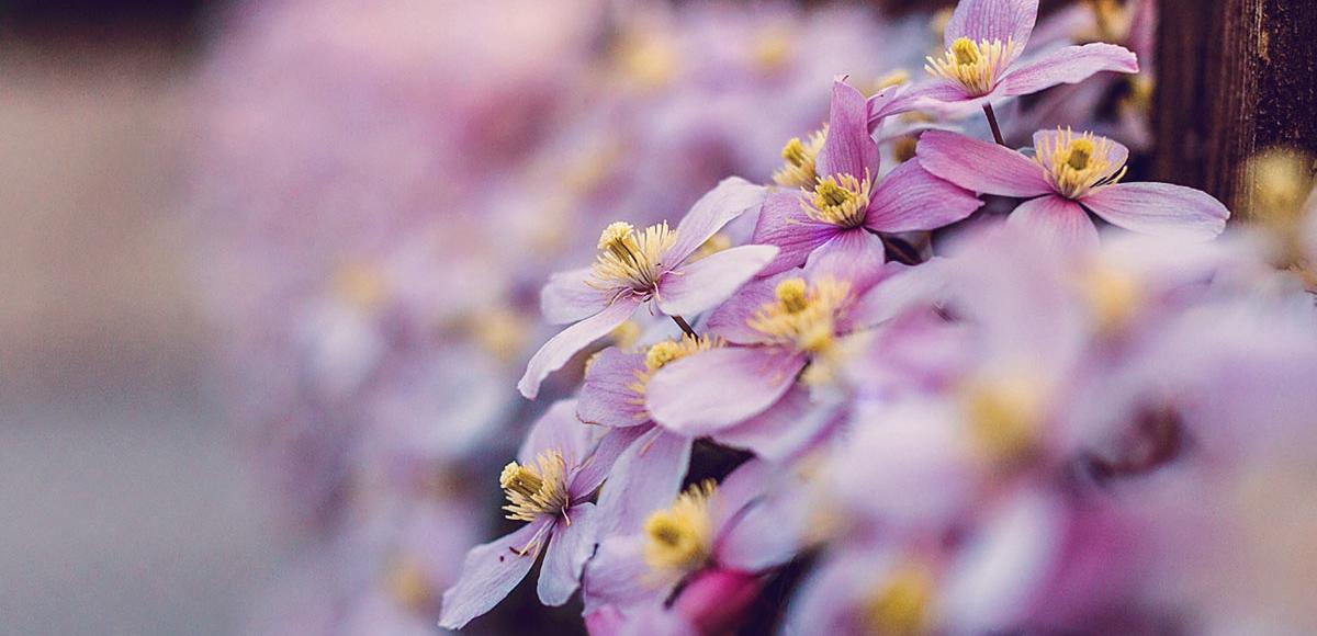 Lila Blütenpracht Südtirol