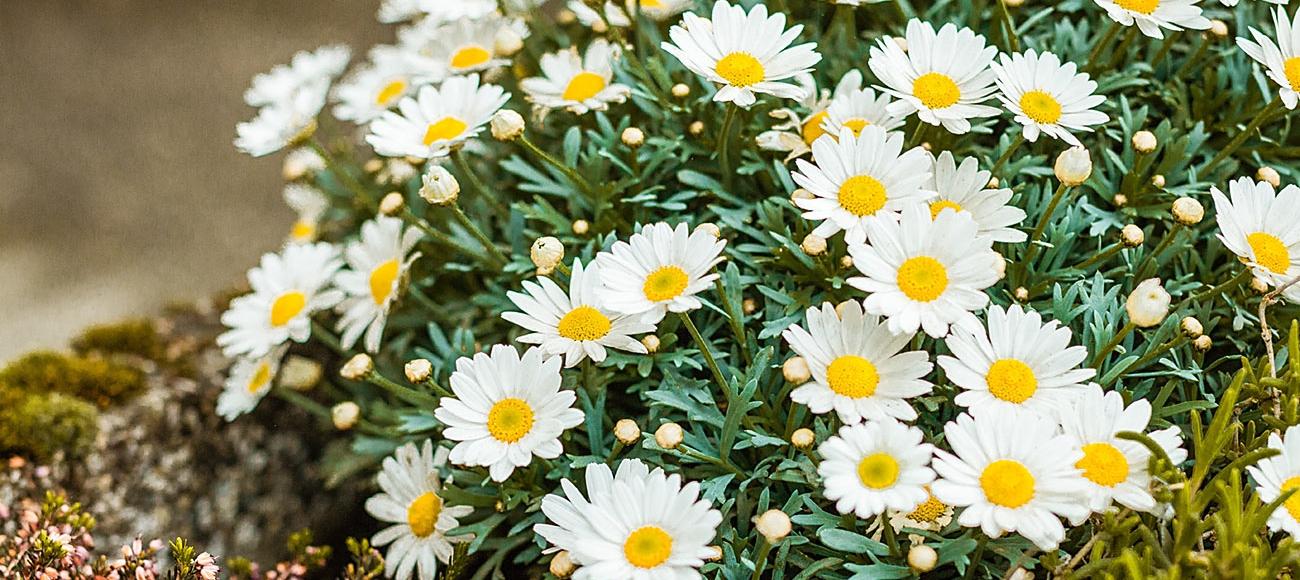 Gänseblümchen im Frühling