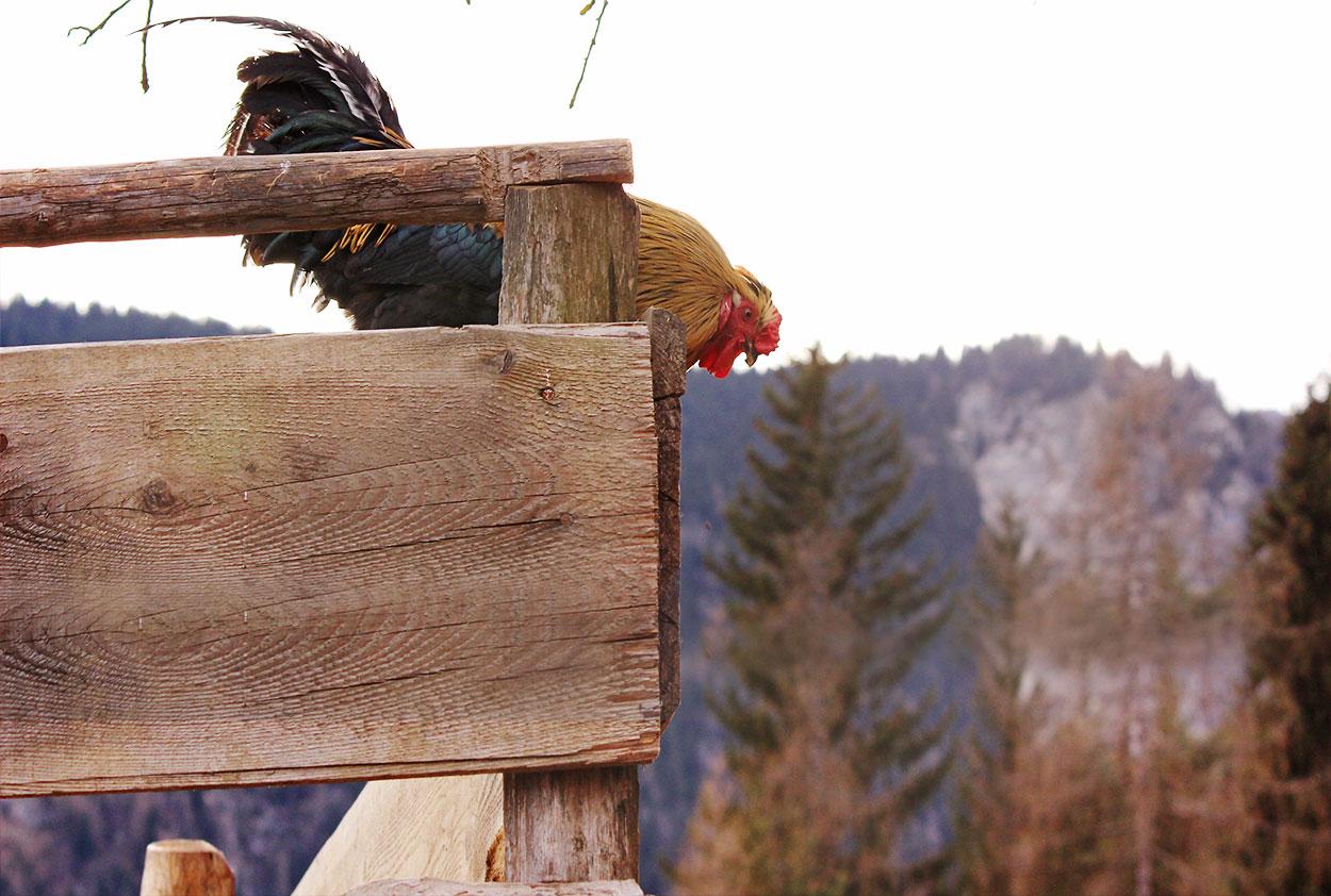 Huhn vor dem Absprung