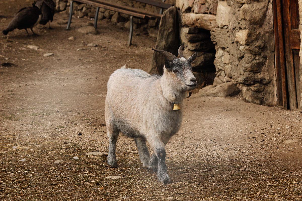 Kleines Schaf im Kleintierzoo