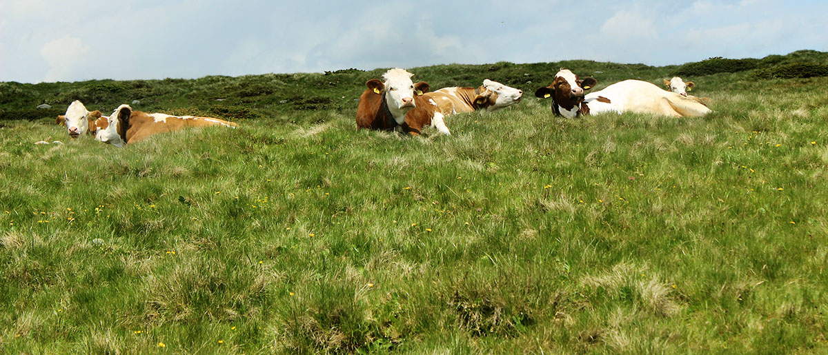Kühe beim Weiden in Südtirol