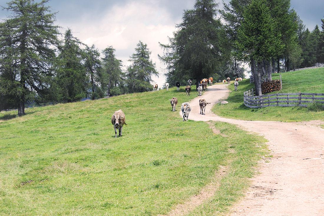 Kuhherde Südtirol