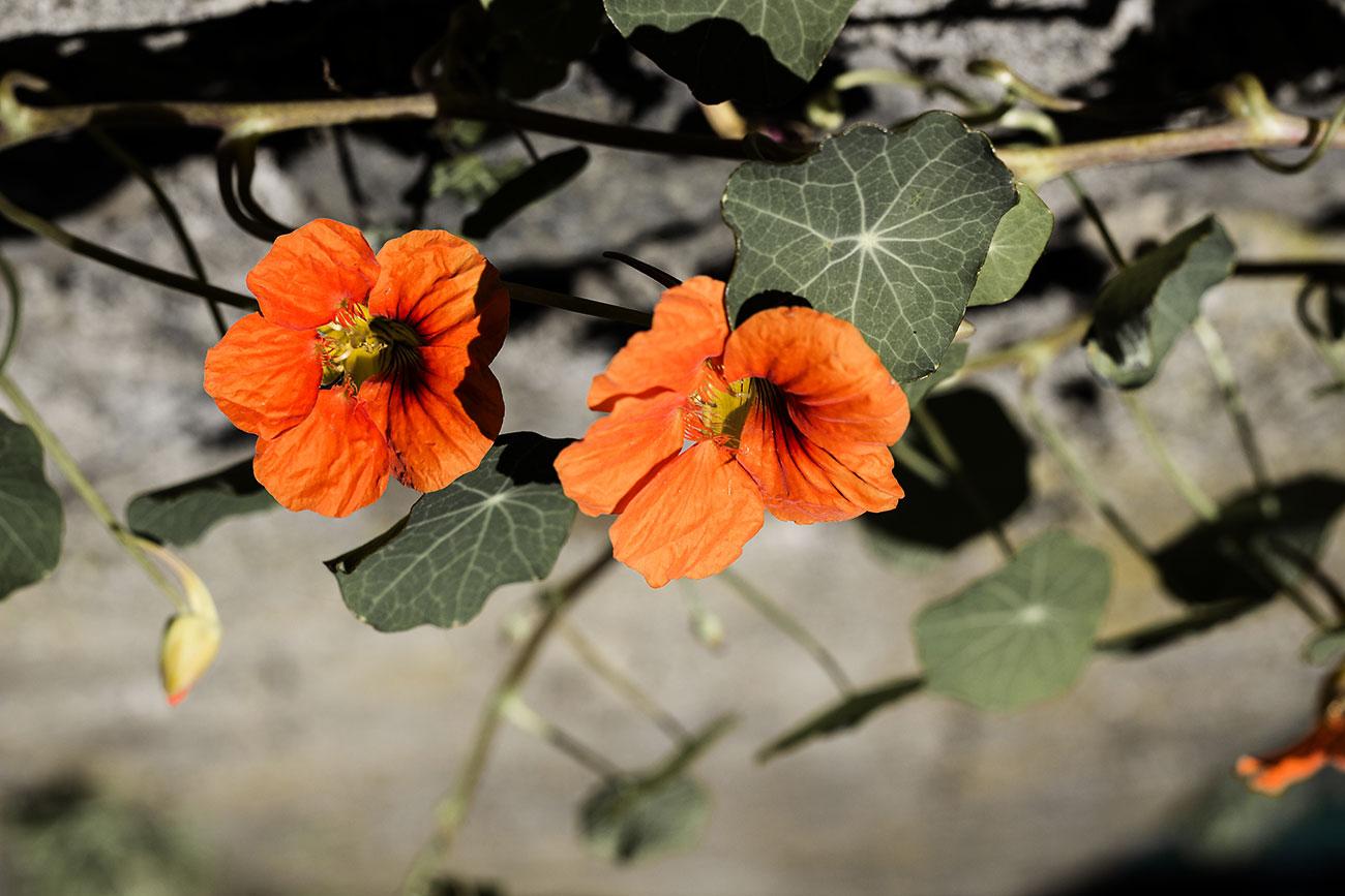 Orange Blumen an der Wand