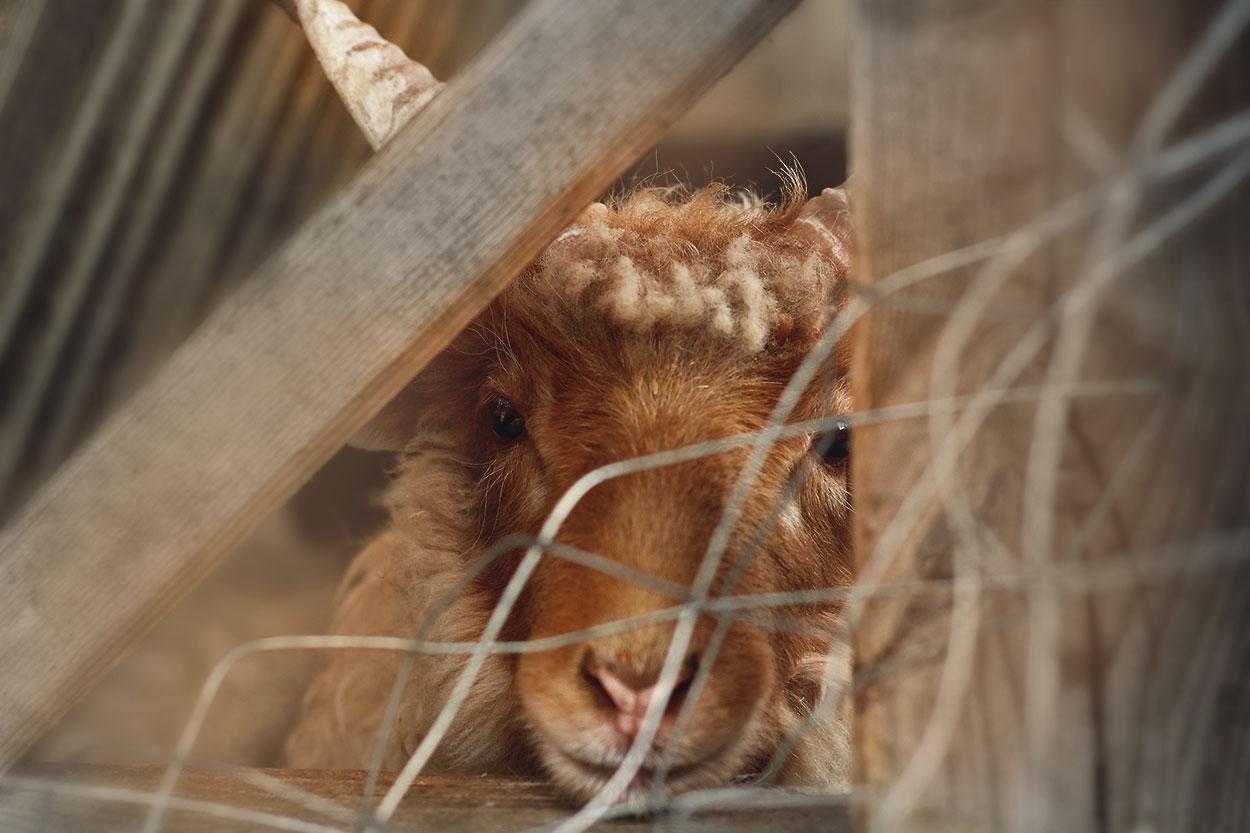 Schaf im Tierzoo