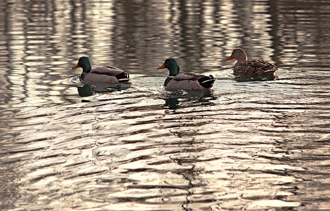 Schwimmende Enten im See