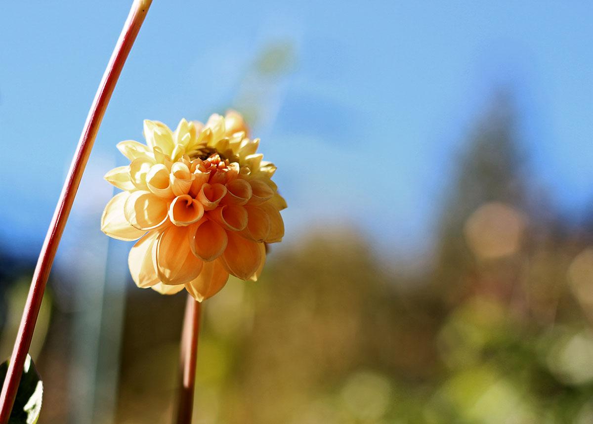 Ultentaler Blume