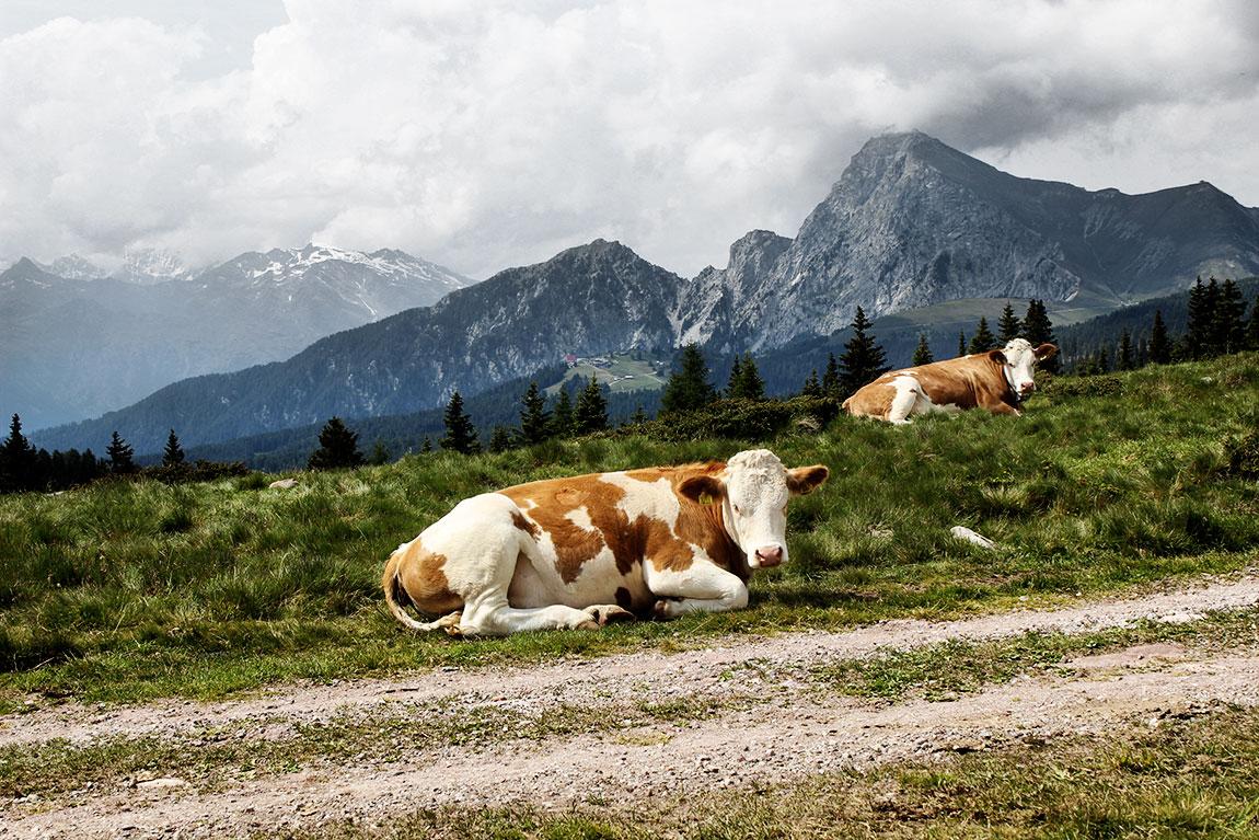 Weidende Kühe auf Südtiroler Alm